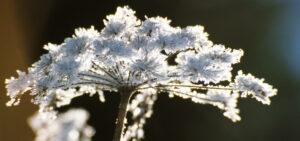 Blume im Winter