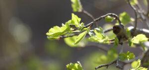 Sprießender Zweig